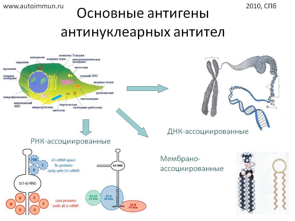 Иммунофлюоресценция