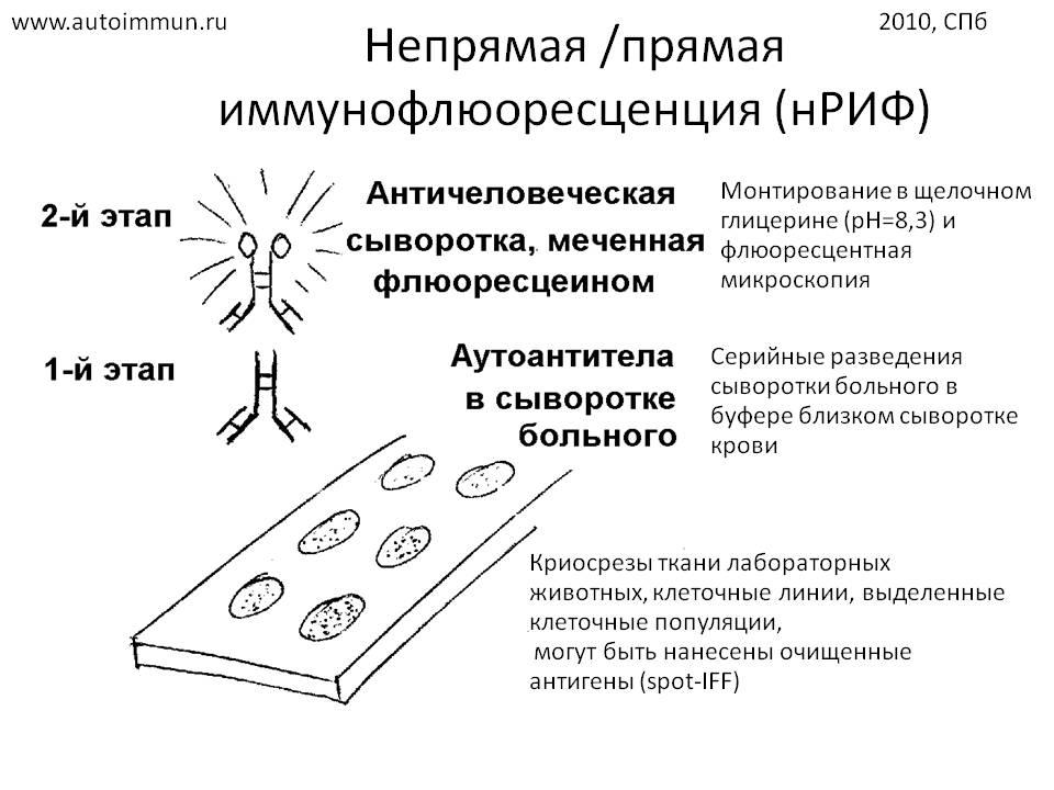 Иммунофлюоресценция фото
